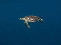 海龟属绿色mydas turltle 库存照片