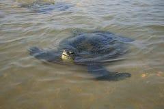 海龟戳它的头在水外面 库存图片