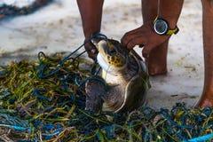 海龟救球在马尔代夫海岛,捕鱼网被困住的动物,救球行星,是绿色概念 库存图片