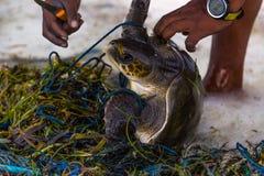 海龟救球在马尔代夫海岛,捕鱼网被困住的动物,救球行星,是绿色概念 库存照片