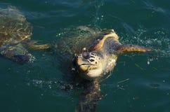 海龟海龟,海龟在阿尔戈斯托利, Kefalonia,爱奥尼亚人海岛,希腊港口  库存图片