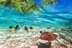 绿海龟游泳在加勒比海 免版税库存图片