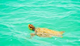 海龟游泳在加勒比的绿松石水中 免版税库存图片