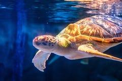 海龟游泳在水下的背景中 草龟在海背景中 图库摄影