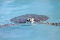 海龟游泳在缓慢地Cayo水中 库存图片