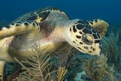 海龟面孔的水下的图象 免版税图库摄影