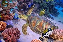 绿海龟,热带珊瑚礁 免版税库存照片