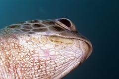绿海龟(海龟属麦得斯)在红海。 免版税库存图片