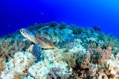 绿海龟 韩的礁石 Gili空气 免版税库存照片