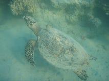 海龟 免版税库存图片