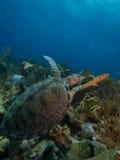 绿海龟02 库存照片