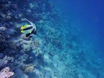 海,两蝴蝶鱼,珊瑚的水下的世界,以海底和蓝色深度为背景 库存照片