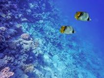 海,两蝴蝶鱼,珊瑚的水下的世界,以海底和蓝色深度为背景 免版税库存图片