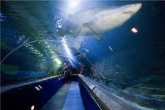 海洋世界北部Queensferry鼓笛苏格兰水族馆和sealife集中有访客的水下的鲨鱼隧道 库存图片