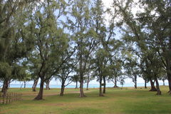 海滩和杉树 免版税库存照片
