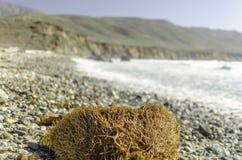 海滩和海杂草在大瑟尔 免版税库存照片