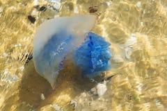 海 在岸附近的水母 免版税库存照片