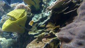 海洋在珊瑚礁附近的鱼游泳 股票录像