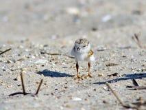 海滩小鸡鸣唱珩科鸟 免版税图库摄影