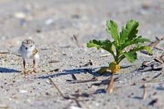 海滩小鸡鸣唱珩科鸟 库存图片