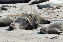海驴属动物californianus 库存图片