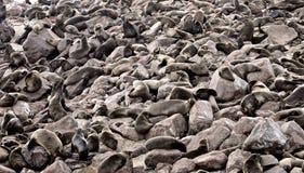 海驴属 库存照片