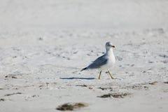 海滩开帐单的鸥环形 免版税库存照片