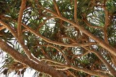 海滩树在澳大利亚 库存照片