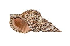 海洋海壳 背景查出的白色 免版税库存照片
