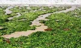 海洋海藻 免版税库存图片