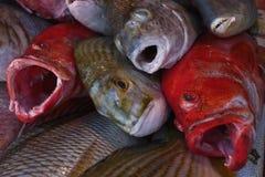 海洋热带鱼灰色和红色与在销售中的开放嘴在渔夫市场上 免版税图库摄影