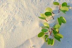 海滩牵牛花,马尔代夫 库存图片