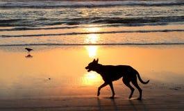 海滩狗 免版税图库摄影