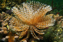 海洋生活壮观的羽毛喷粉器蠕虫 免版税库存照片