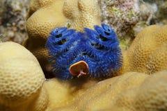 海洋生活蓝色圣诞树蠕虫太平洋 库存图片