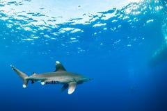 海洋白鳍鲨接近的潜水者 免版税图库摄影