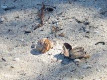 海滩的小巨蟹星座, CAYO鬣鳞蜥,古巴 免版税库存图片