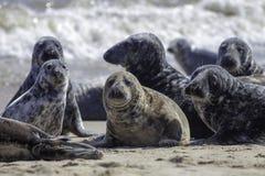 海滩的狂放的灰色海狮群在似马的英国 图库摄影