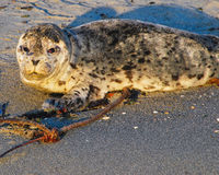 在海滩的海狮幼崽 库存图片