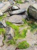 海藻盖了在爱尔兰海滩的石头 免版税库存照片