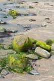海藻盖了在爱尔兰海滩的石头 库存照片