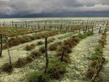 海藻耕种在海洋 免版税图库摄影