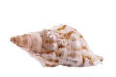 海洋蜗牛,在白色背景隔绝的马巧克力精炼机唯一海壳  免版税库存照片