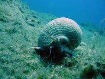 海洋蜗牛 免版税库存照片