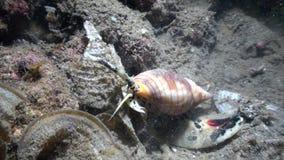 海洋蜗牛hanting夜的圆锥ferrugineus在印度尼西亚 影视素材