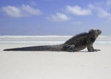 海滩蜥蜴,海产鬣蜥蜴 免版税库存照片