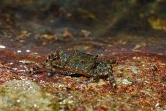 海洋螃蟹。 免版税库存图片