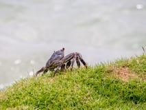 海洋螃蟹在洲际的手段和温泉旅馆在帕皮提,塔希提岛,法属玻里尼西亚 库存图片