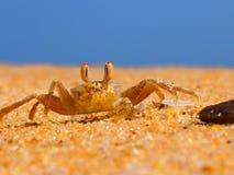 海洋螃蟹 库存照片