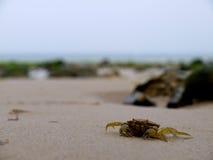 海滩螃蟹 免版税库存图片